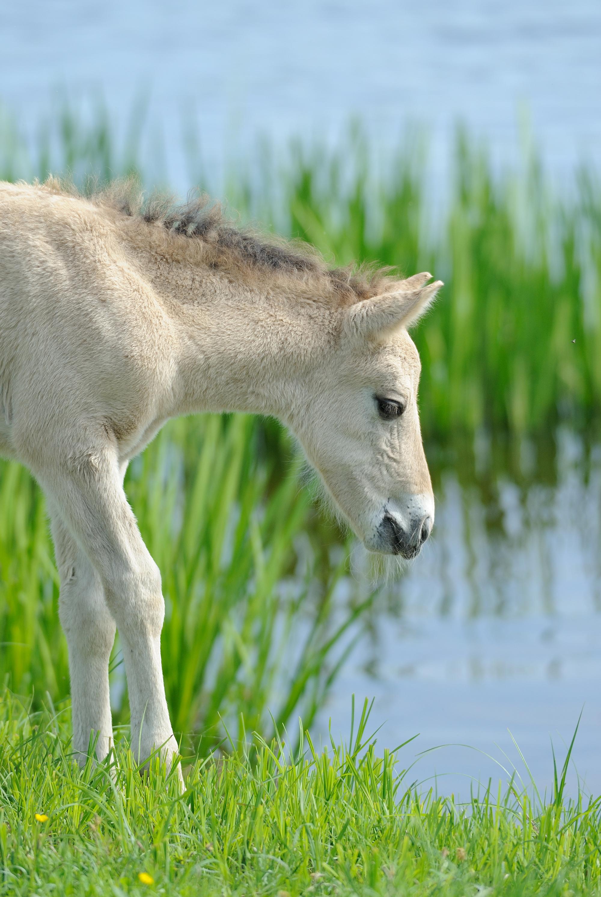 Дикие лошади Коник Польски, Латвия