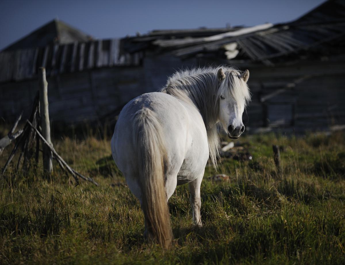 Дикие якутские лошади