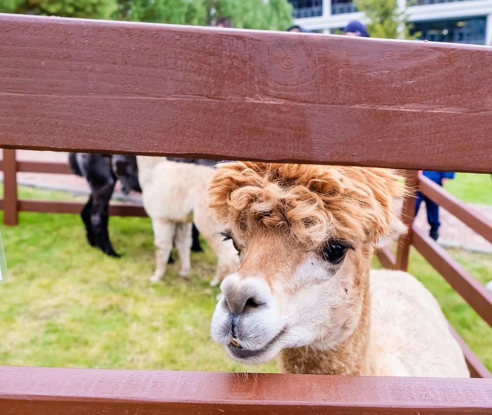 лама удачный Красноярск зоопарк фото фотограф фотосессия морда