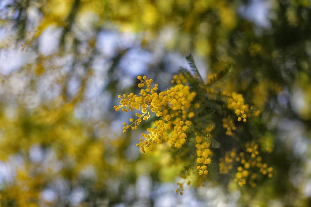 весна, мимоза